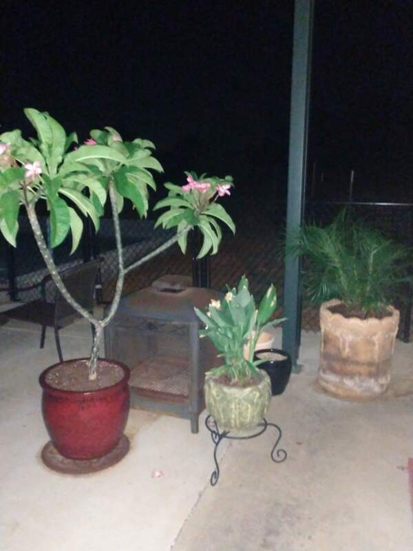 Plumeria plant flowering and a few others in pots