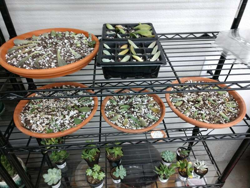 Propagating various succulents
